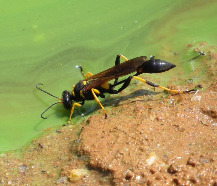 4) Black and Yellow Mud Dauber