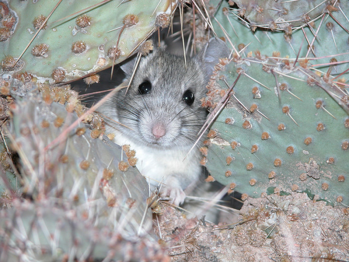 16. This whitethroat woodrat peeks out from behind a prickly pear for a moment.
