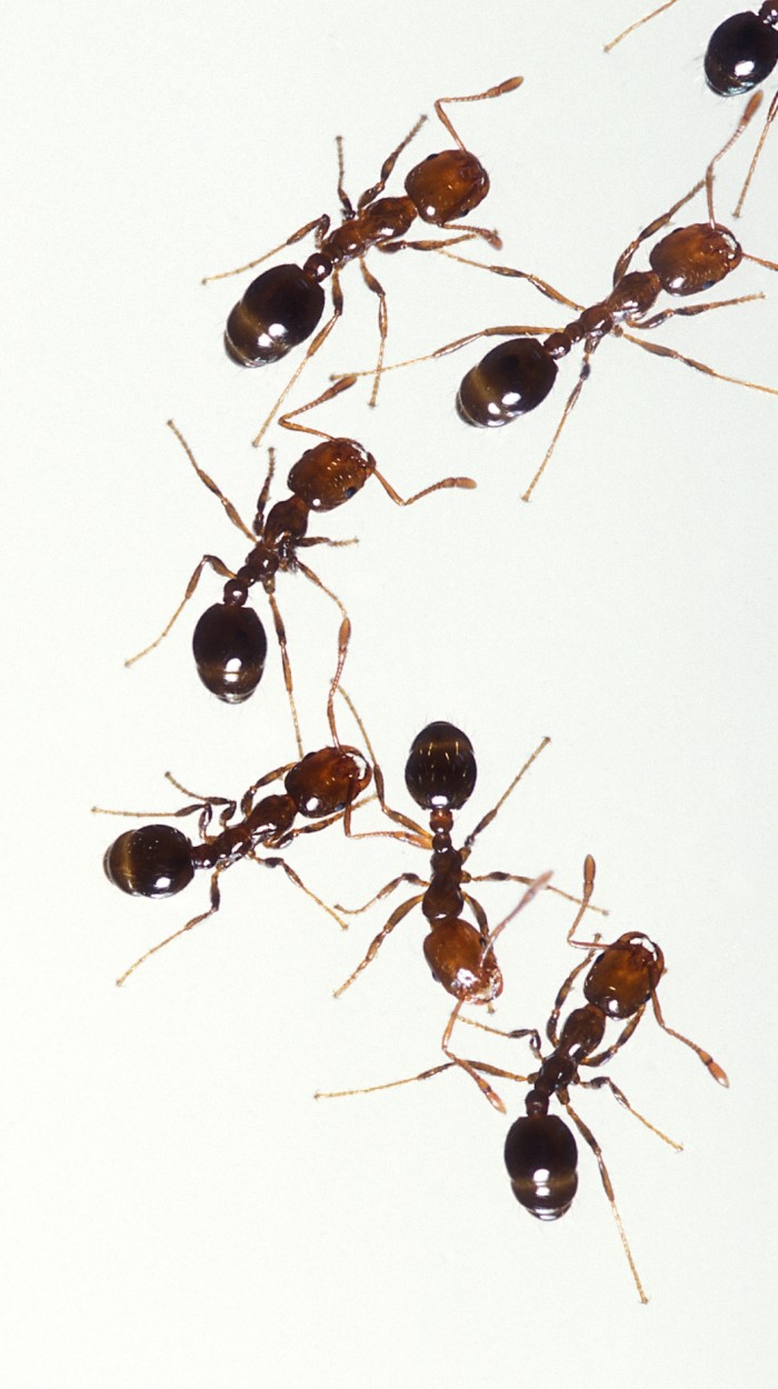 1. Fire Ant