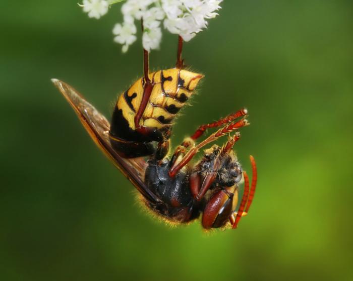 3. Hornet