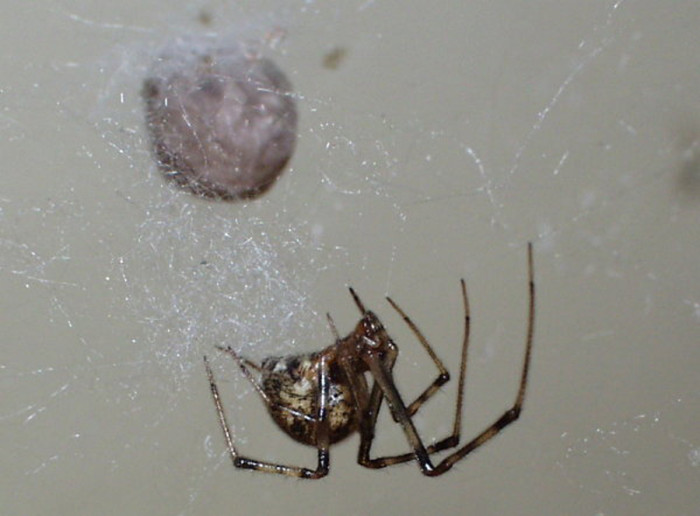 25. American House Spider