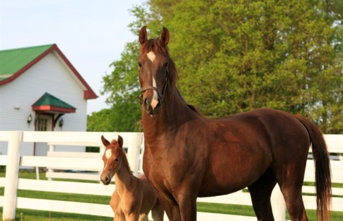 1. American Saddlebred Farm