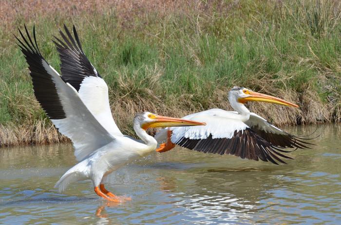 1) American White Pelicans
