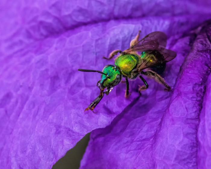 8) Augochlora Sweat Bee