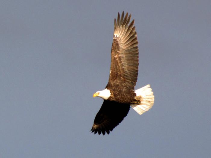 21) Bald Eagle