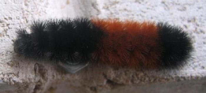 Banded Woollybear Caterpillar Moth