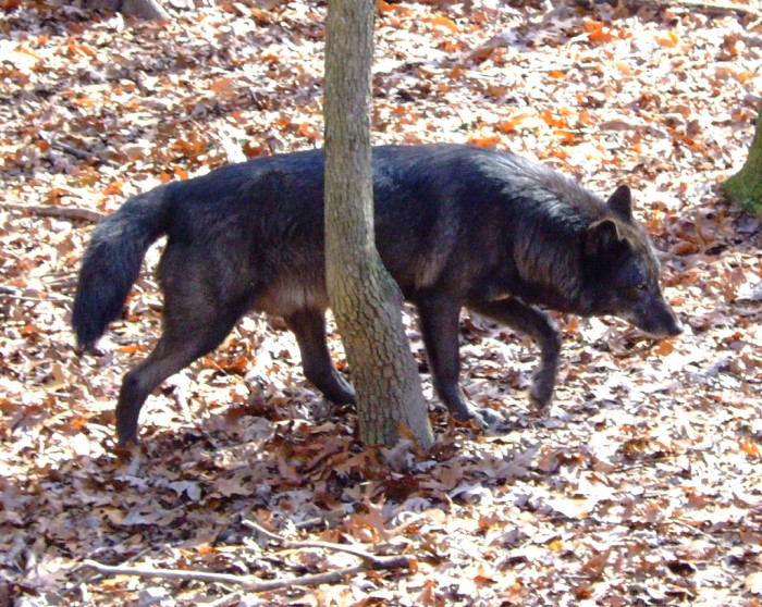 13) This lone wolf gives us ALL the good chills
