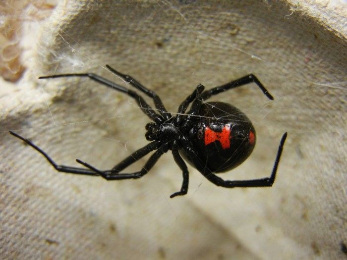 6. Black Widow