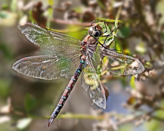 10) Blue-Eyed Darner dragonfly