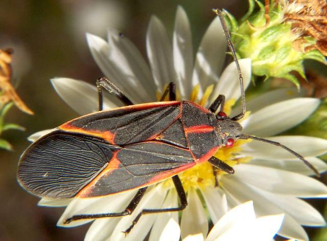4.) Boxelder bug