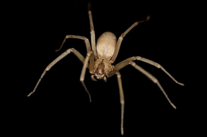 2) Brown Recluse Spider