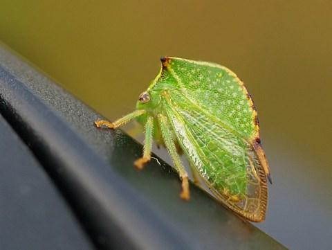 9.) Buffalo treehopper