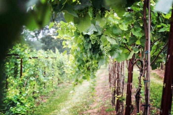 10. Cave Hill Vineyard