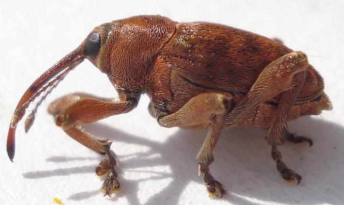 2.) Acorn Weevil