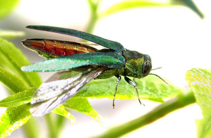 9. Emerald Ash Borer
