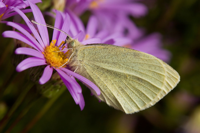 7) European Cabbage White Butterfly
