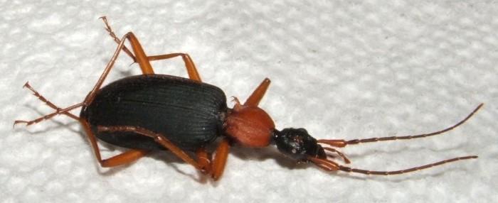 6) False Bombardier Beetle