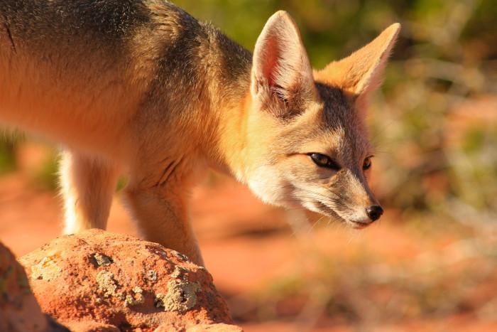 13) Kit Fox