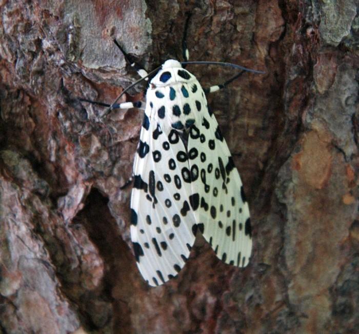 5) Giant Leopard Moth
