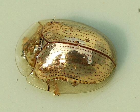 6) Golden Tortoise Beetle