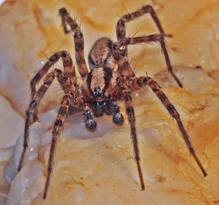 8) Grass Spider