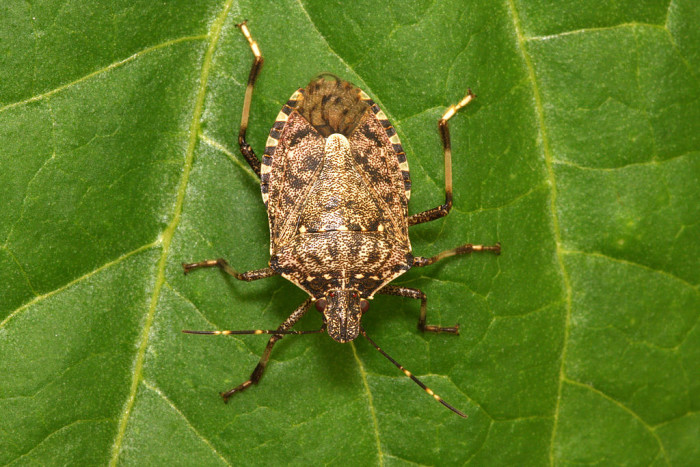 5.) Brown marmorated stink bug