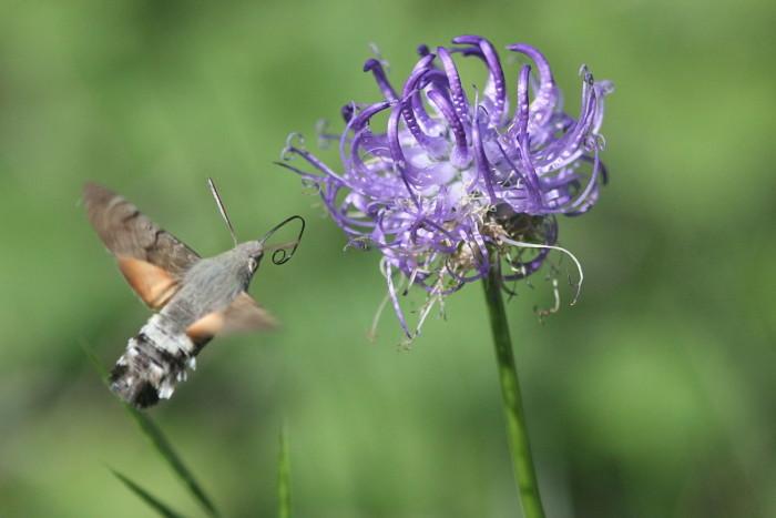 4) Hummingbird hawk moth