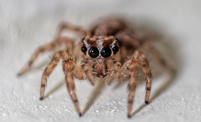 4. North American Jumping Spider