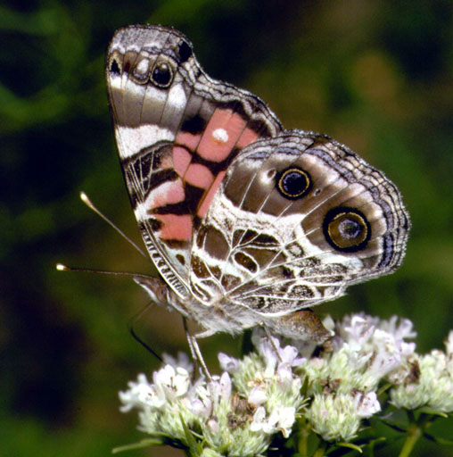 3) American Lady butterfly