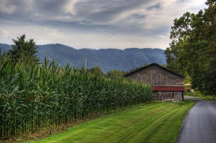 21. Corn Field in Lee County
