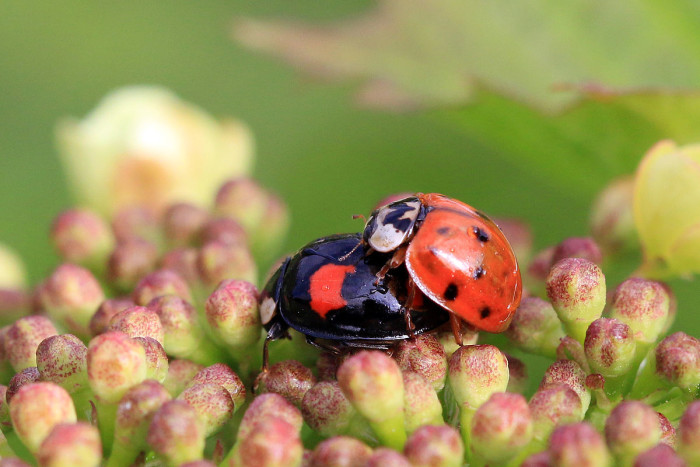 2) Asian Multicolored Lady Beetle