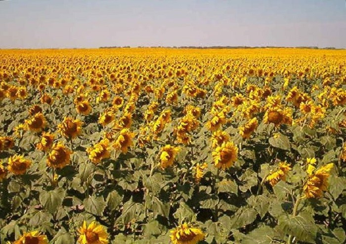 13. North Dakota grows more sunflowers than any other state.