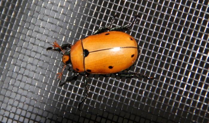7. Grapevine Beetle