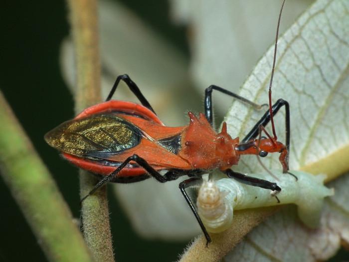 13. Assassin Bug