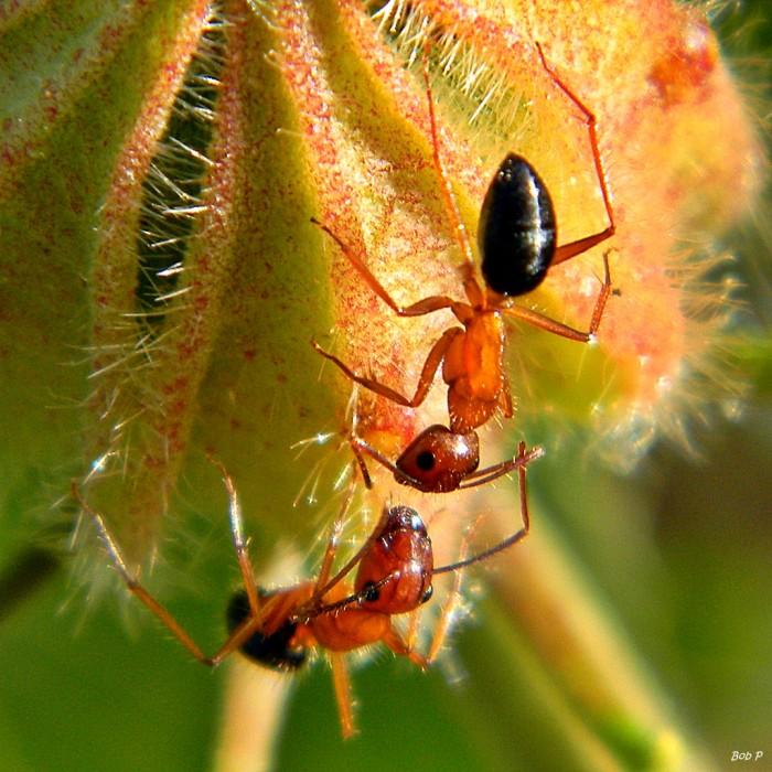 2. Carpenter Ant