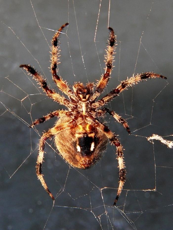 3. Spotted Orbweaver Spider