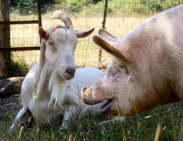 7) Out to Pasture Sanctuary, Estacada
