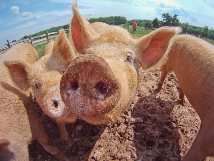 16. Pigs at Keenbell Farm in Rockville