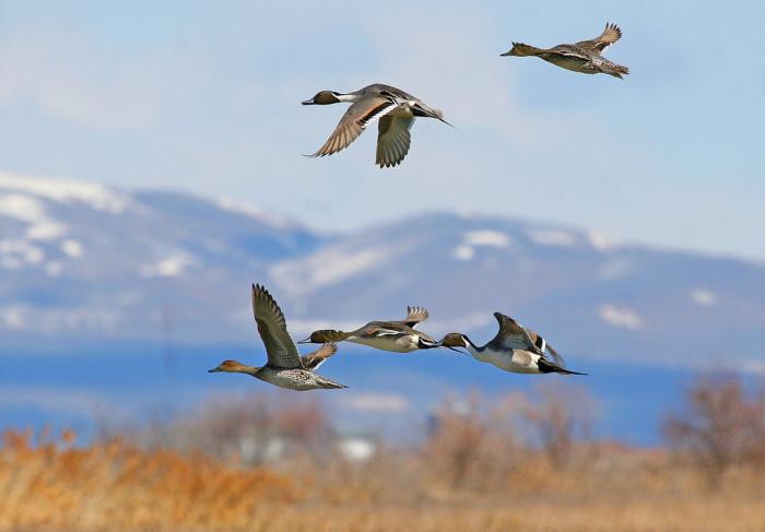 23) Northern Pintail Ducks