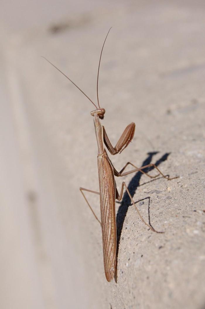 9) Praying Mantis