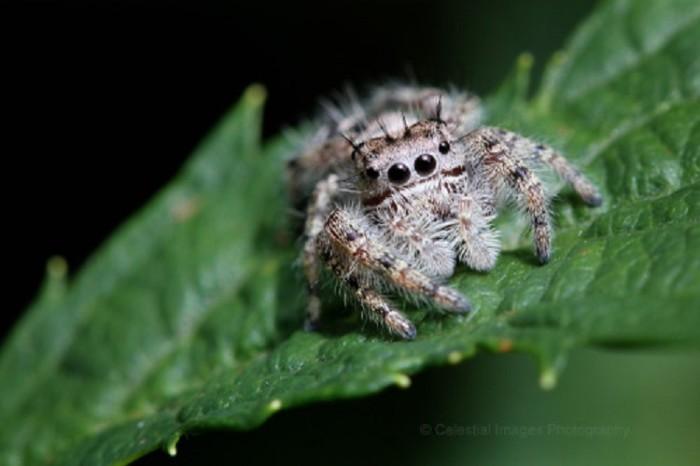 Putnam Jumping Spider