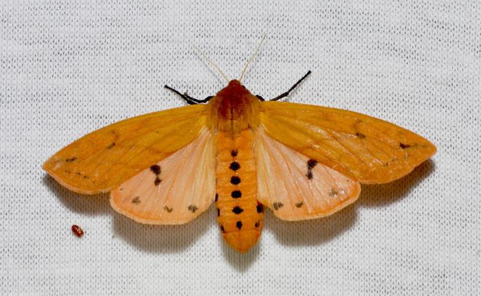 Pyrrharctia_isabella_–_Isabella_Tiger_Moth_(14842796231)