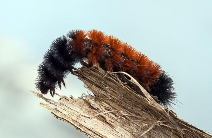2.) Banded Woollybear Caterpillar Moth