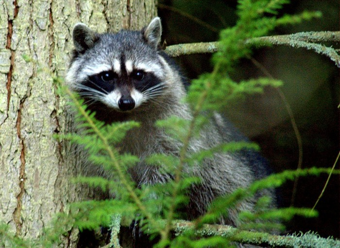 5) Did you ever wonder what the state animal is? A raccoon!