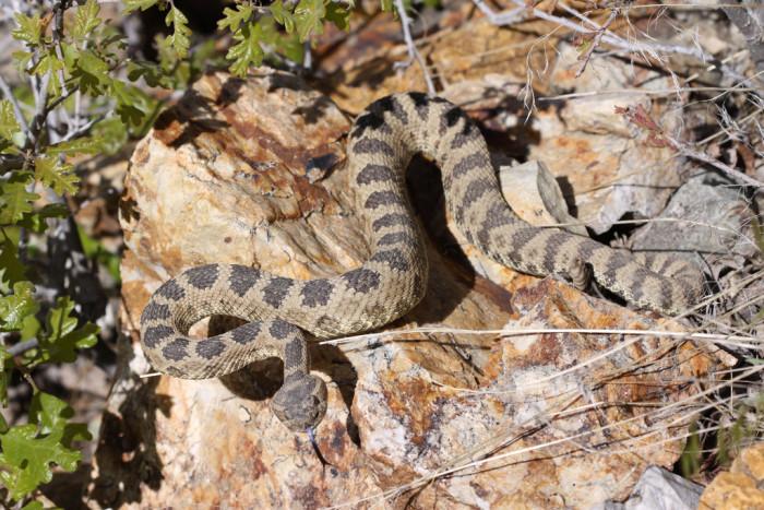 25) Great Basin Rattlesnake