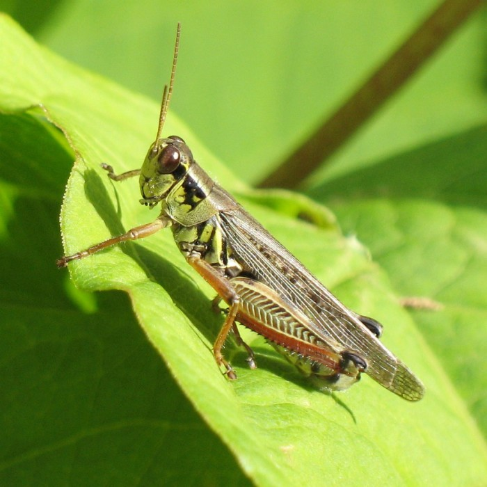 2) Red-legged grasshopper