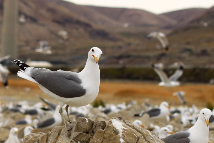 26) California Seagull