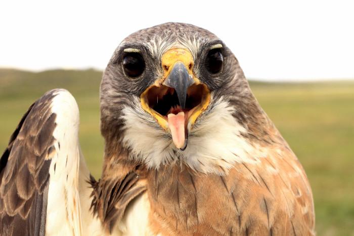 1) An adult Swainson's hawk