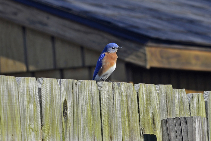 3) And the most lovely bluebird