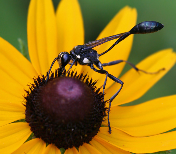 12) Common Thread-Waisted Wasp